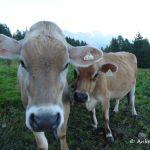 Zwischen Kühen schlummern