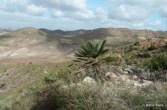 Zwergpalme. Naturpark Cabo de Gata-Níjar. Kura_preview