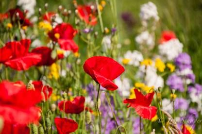 Wiesenblumen in der Cappelaue