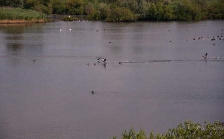 Vogelwelt am Altmühlesee