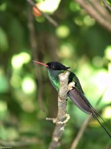 jamaica-doctors-bird26
