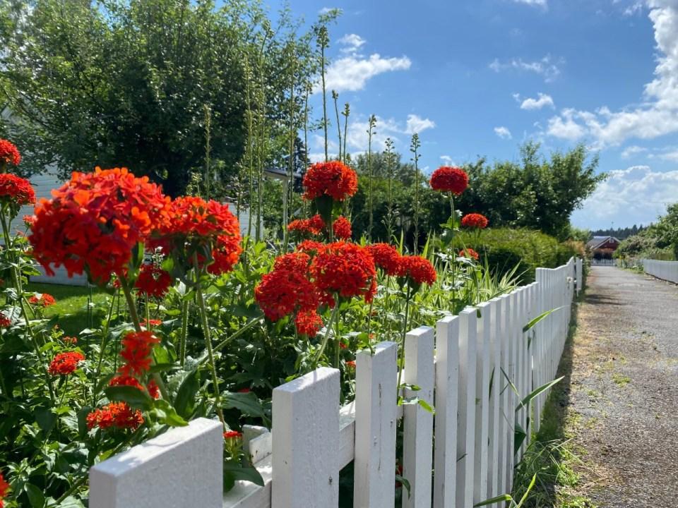 Røde blomster langs hvitt gjerde