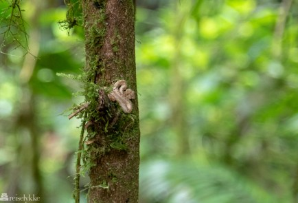 Giftig slange, Costa Rica