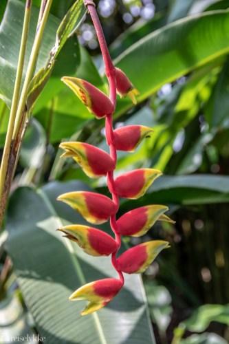Blomster i Costa Rica