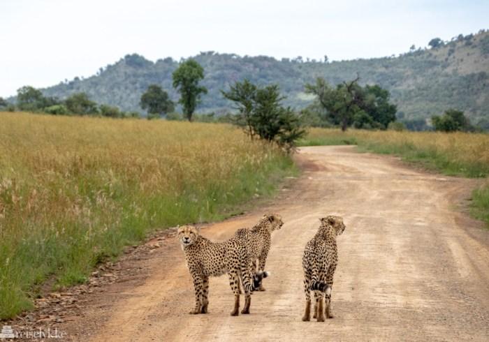 Chitas i Pilanesberg