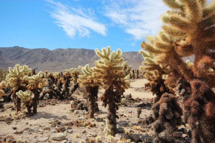 Cholla Cactus i Joshua Tree National Park