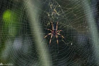 Edderkopp og spindelvev Praslin