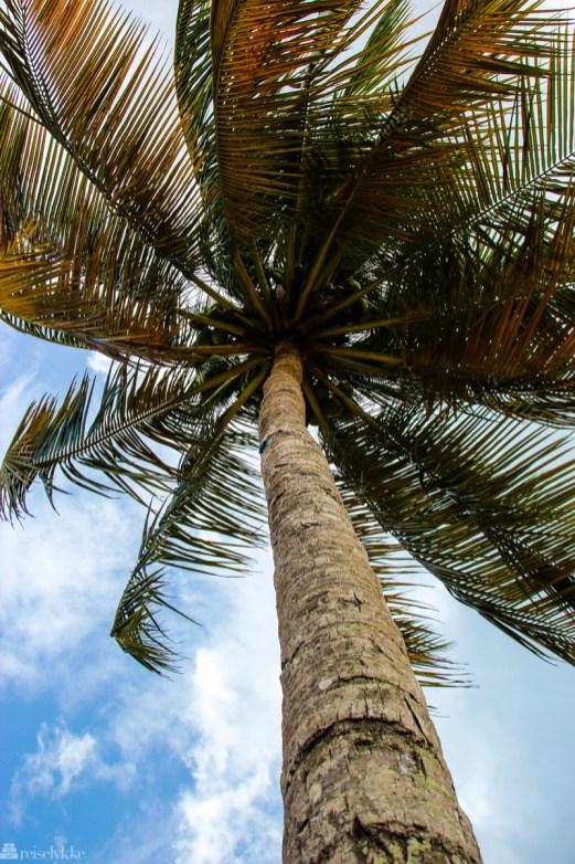 Palmesus på Maracas Beach