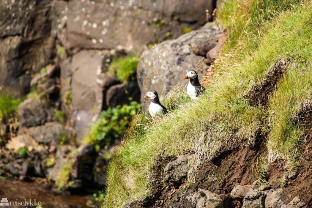 Lundefugler på Færøyene