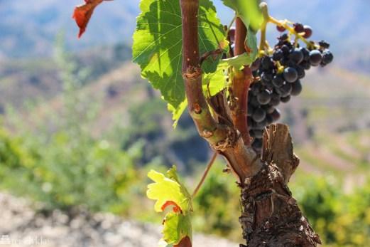 Vinranke i Priorat
