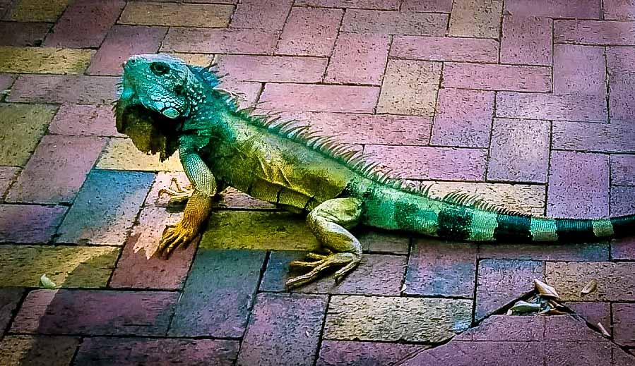 Der neue Nachbar der Familie Kneissler in Guayaquil - ein Grüner Leguan (Iguana iguana).