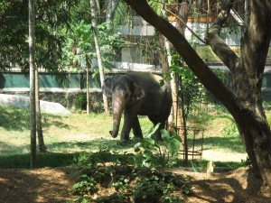 Auch im Zoo angekettet, Elefanten in Indien