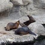 Oceanogràfic - Seelöwen