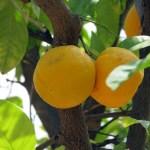 Stadtpark - Orangen