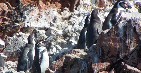 Inseln - Heimat kleine Humboldt-Pinguine