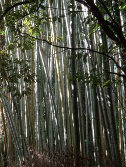 Arashiyama's bamboo forest is very known in Japan - and indeed the bamboo grows huge.