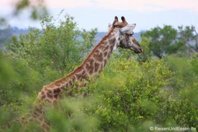 Giraffe im Krüger Nationalpark