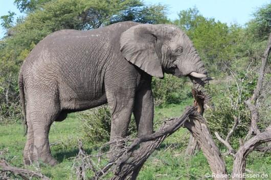 Elefant stärkt sich mit Zweigen
