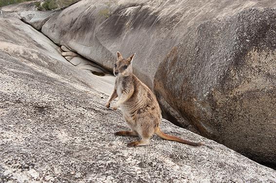 Zutraulich: die Rock Wallabies der Granite Gorge