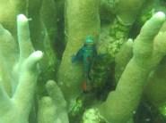 Mandarin Fische Yap Paarung