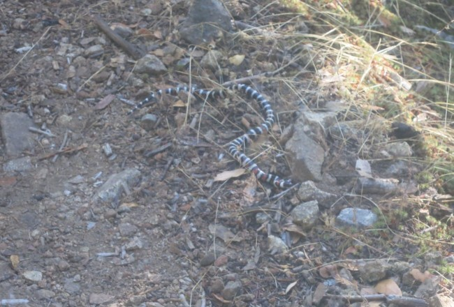 California Mountain King Snake