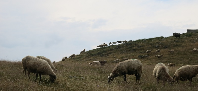 Sheep Ruzica Via Dinarica