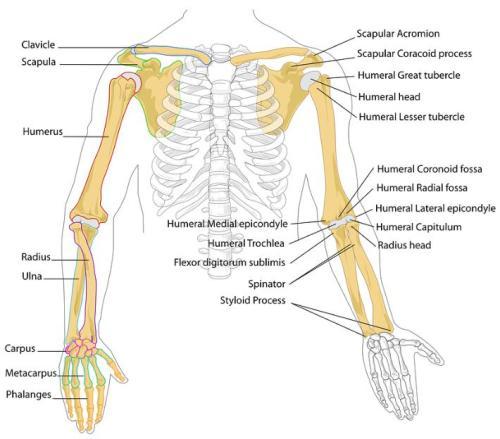 上半身の骨の解剖学