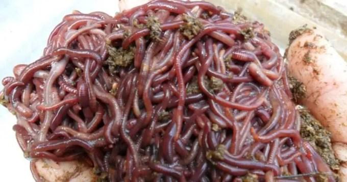panen-cacing-tanah