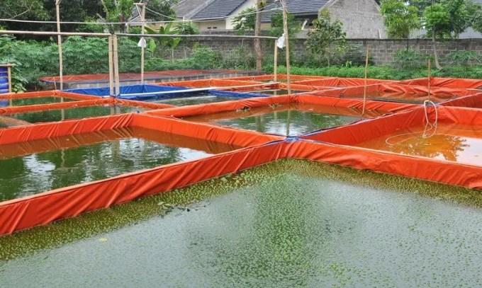 kolam-lele