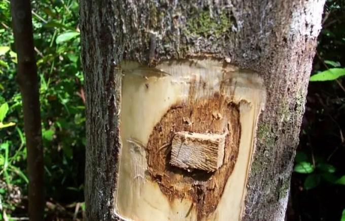 pohon gaharu