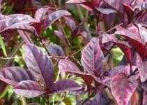 daun ungu segar
