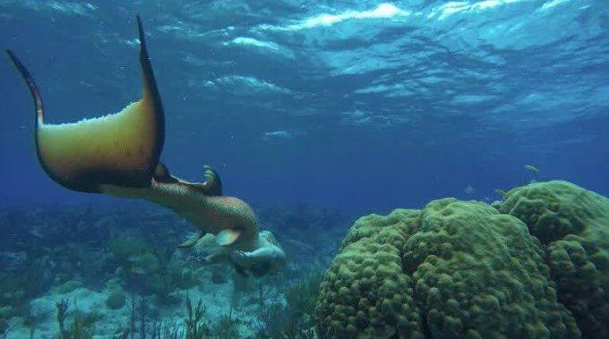 foto ikan duyung asli
