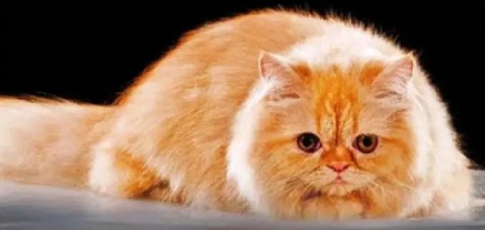 apa itu kucing persia