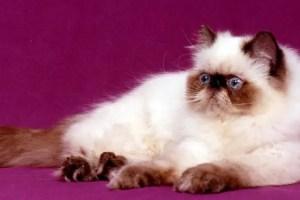 harga kucing persia