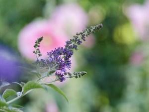 Stockrose mit Schmetterlingsflieder
