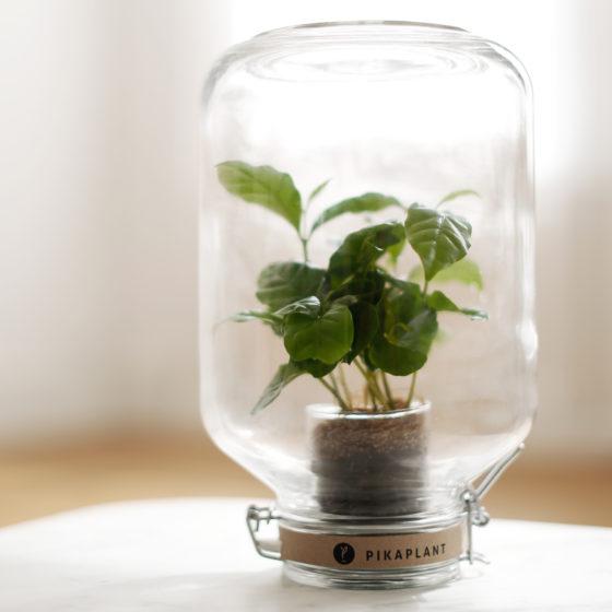 pikaplant koffieplant ondersteboven weckpot groen relatiegeschenk idee