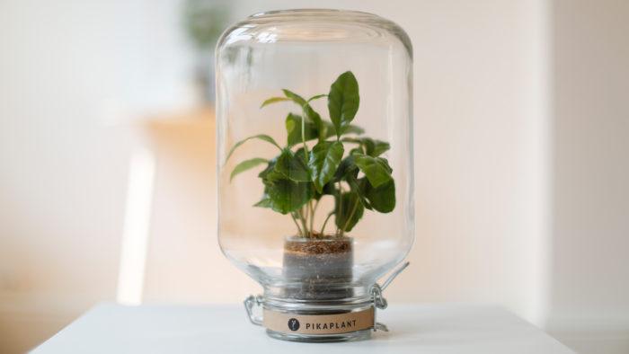 pikaplant koffieplant weckpot groene relatiegeschenken