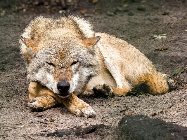 lobo photo
