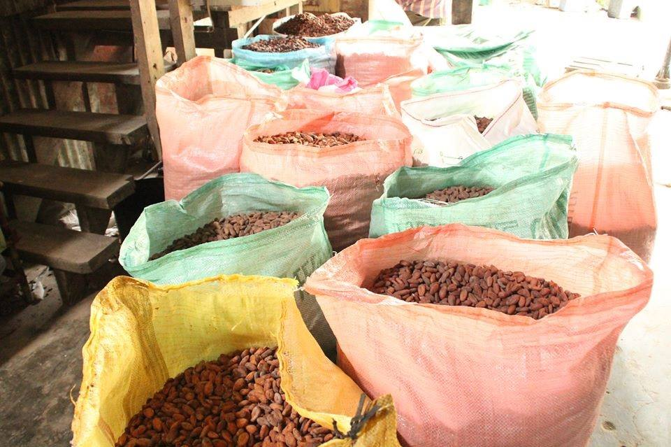 Cocoa beans being dried and sorted