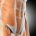 Image of core muscles