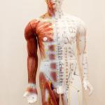 Model showing acupuncure meridians
