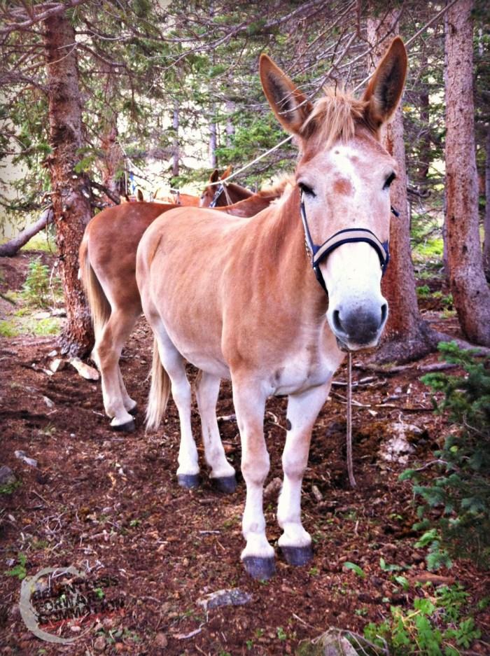 Mule at Hope Pass