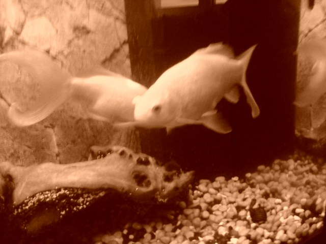 Goldfish in the fish tank with a small snail on the floor of the tank