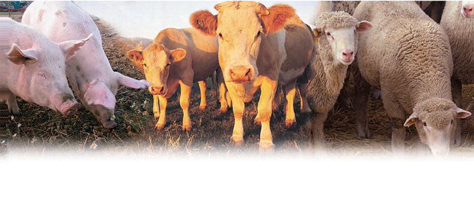 Livestock Scales for Cattle, Poultry & Sheep