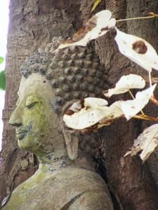 450px-Bodhi_Tree_(Whiteleaf)_of_Wat_Hua_Hat_0.Tevaprapas Makklay