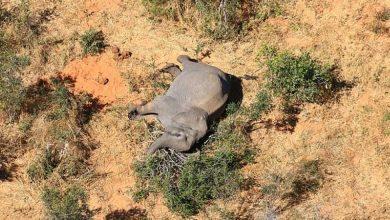 Photo of Al menos 350 elefantes mueren misteriosamente en Botswana