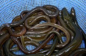 Photo of En Montecristi, informaron decomiso de anguila con un peso de 10 kilos,