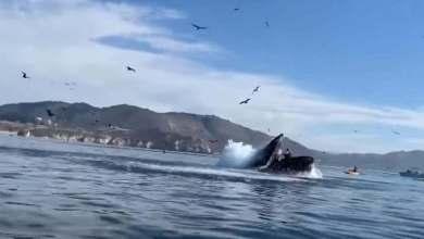 Photo of Ballena casi se traga a dos kayakistas en California