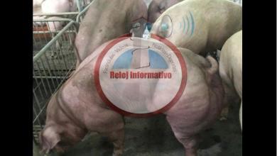Photo of Gobierno pagará cada cerdo sacrificado por peste porcina a porcicultores