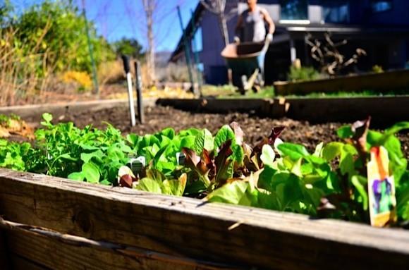 Spring gardening lettuce | reluctantentertainer.com